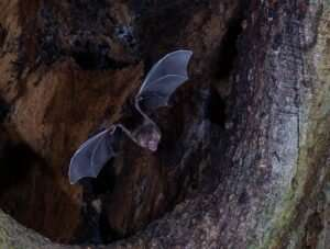 Vampire bats help unravel the mystery of smell