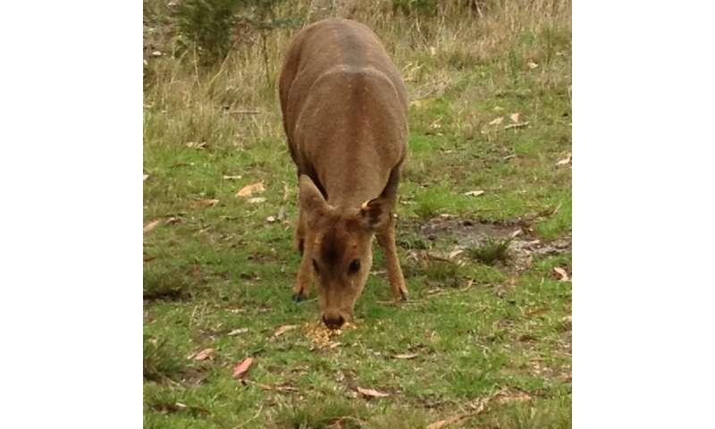 Victorian hog deer genetics revealed