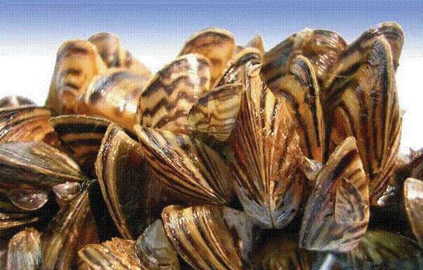 Video: Understanding the zebra mussels problem