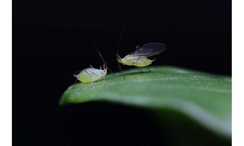 Virus genes help determine if pea aphids get their wings