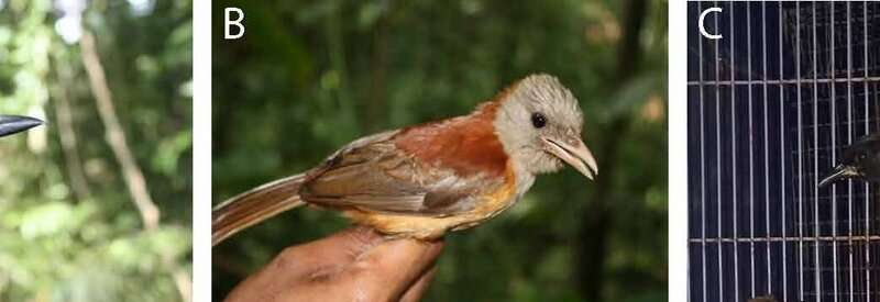 Warning signs in a poisonous Papuan songbird
