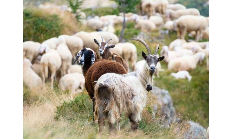 Weatherproof sheep? How to enhance animal resilience to climate change