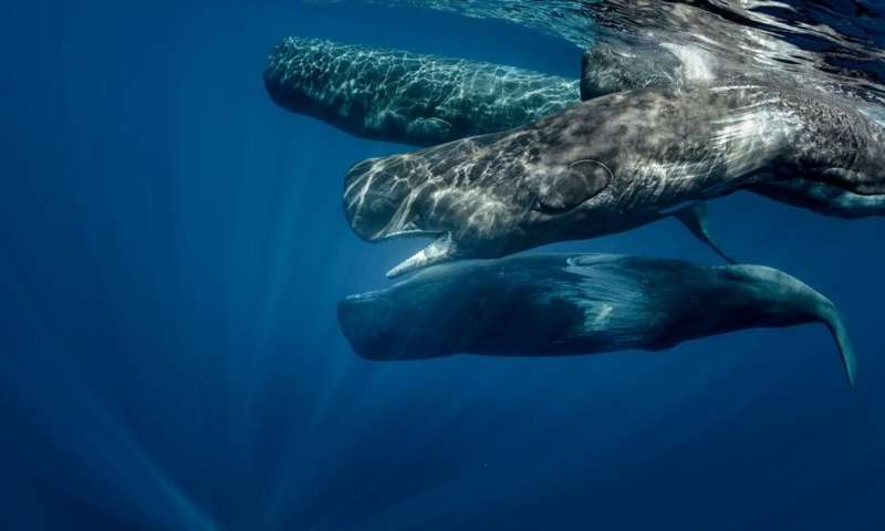 We need to understand the culture of whales so we can save them