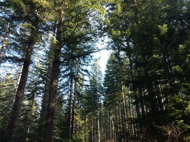 West Coast forest landowners will plant less Douglas-fir in warming climate, model shows