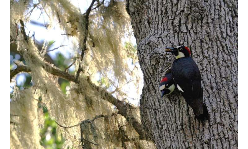What drives multiple female acorn woodpeckers to share a nest?