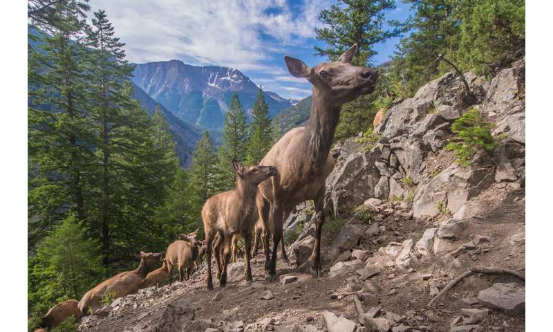 What drives Yellowstone's massive elk migrations?