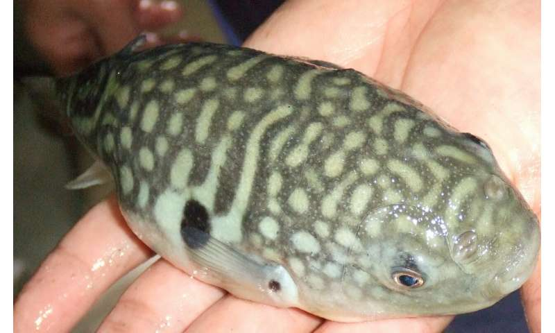 What makes the deadly pufferfish so delectable