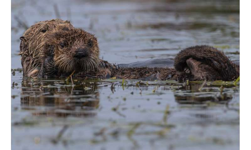 What's killing sea otters? Scientists pinpoint parasite strain