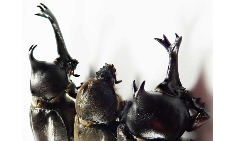 When do male and female differences appear in the development of beetle horns