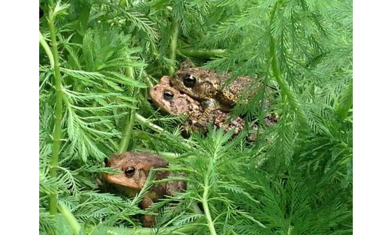 When naproxen breaks down, toads croak