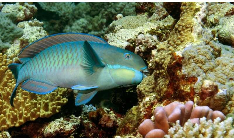 When reefs die, parrotfish thrive