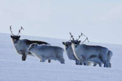 When the extreme becomes the norm for Arctic animals