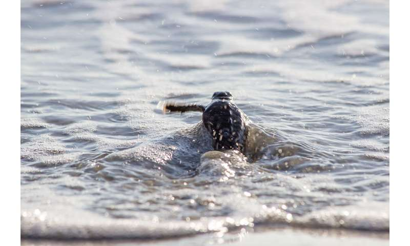 Where do baby sea turtles go? New research technique may provide answers