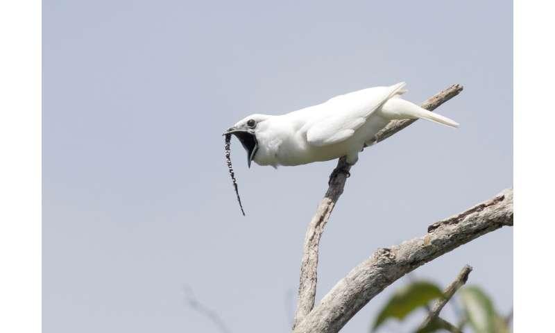 White bellbirds in Amazon shatter record for loudest bird call ever measured
