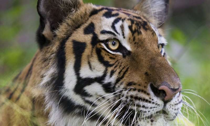 Why captive breeding will not save the wild tiger