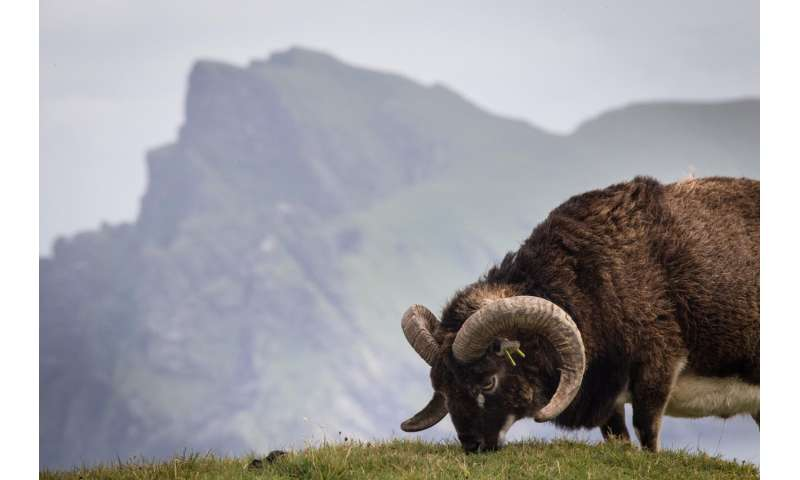 Wild animals' immune systems decline with age, sheep study finds