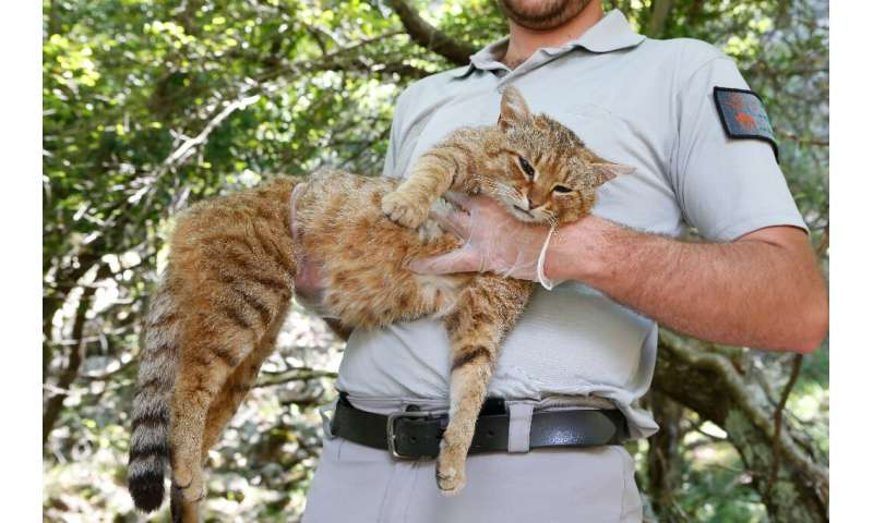 """Wildlife rangers in Corsica believe that felines they have been researching, known as """"cat-foxes"""", are a new, as yet u"""