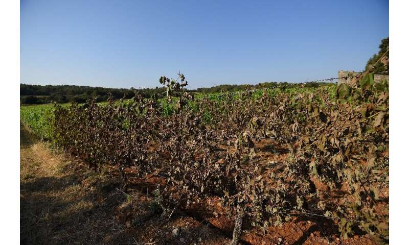 Winemakers believe the heatwave damage is a warning of worse to come as the planet warms.