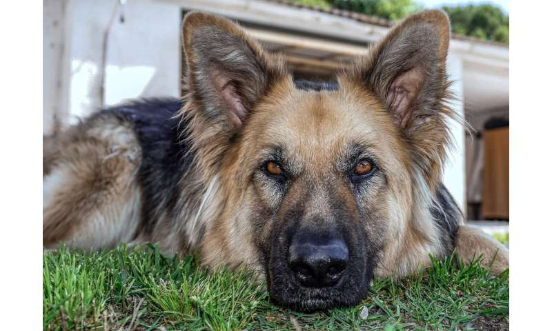 Study suggests dog breeds with less artificial selection history behave more wolf-like