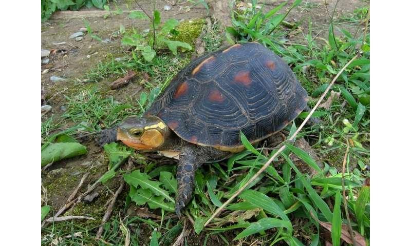 Yellow-margined box turtles were among dozens stolen from an Okinawa Zoo