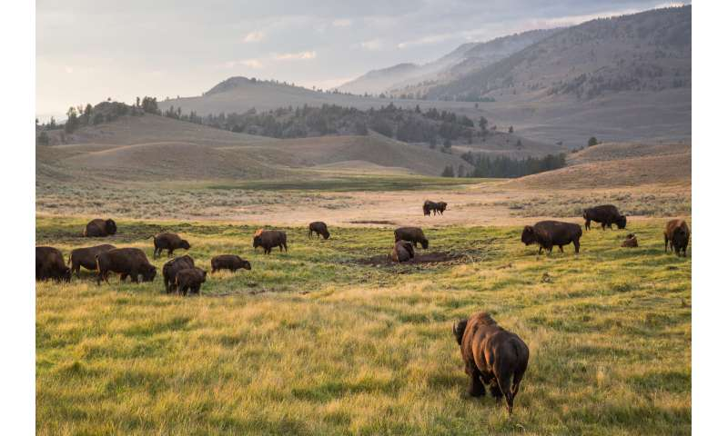 Yellowstone's migrating bison manipulate springtime green-up