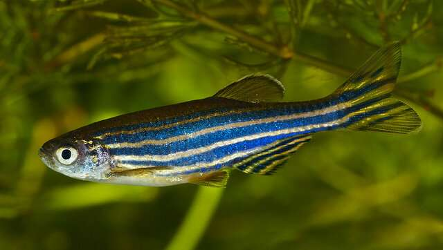 Zebrafish useful to model ALS-linked mutations