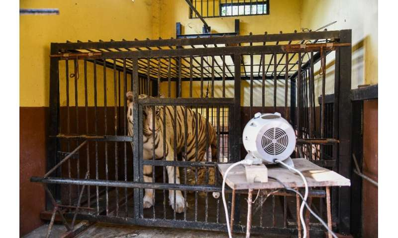Zoo authorities in Assam put heaters in tiger enclosures to keep animals warm