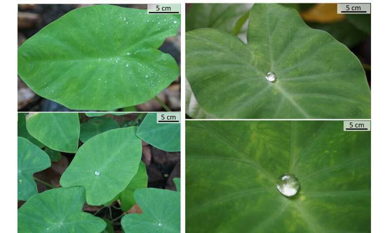 Beyond Lotus-effect: Taro leaf provides clues to design large hysteresis superhydrophobic surfaces