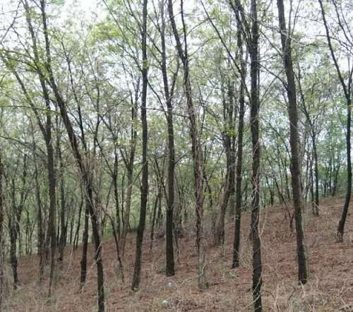 Scientists reveal water-use patterns of robinia pseudoacacia during transition period between dry and rainy seasons