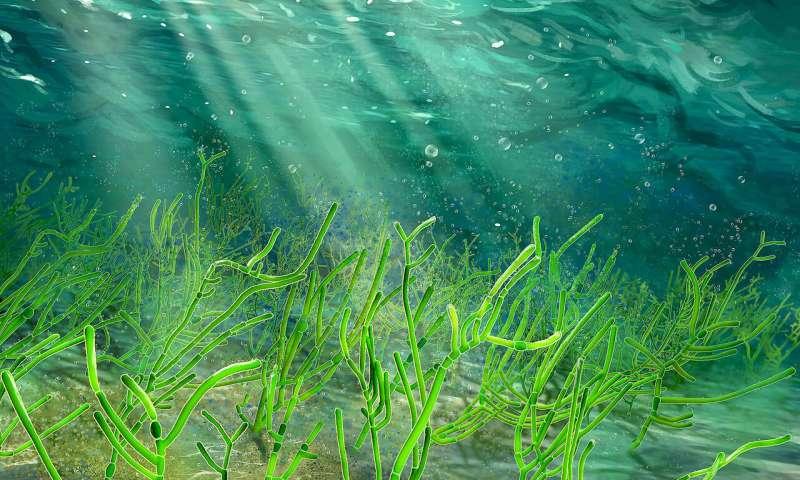 1 billion-year-old green seaweed fossils identified, relative of modern land plants