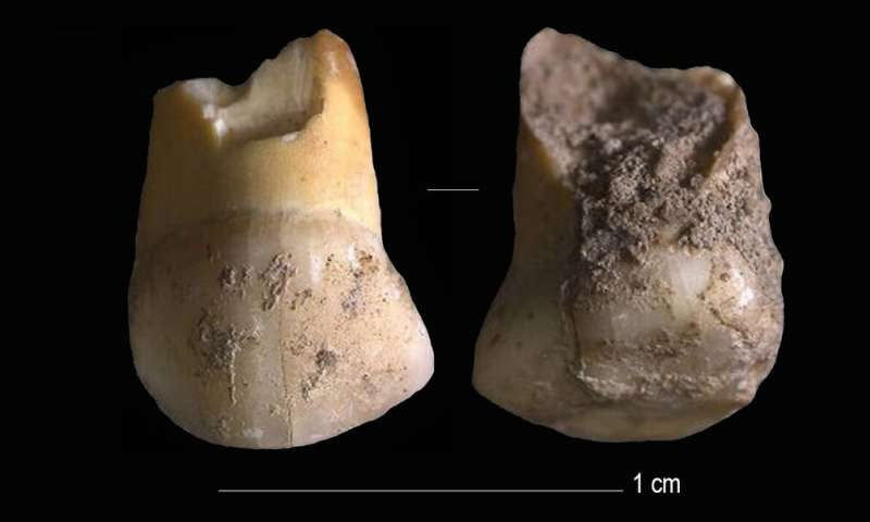 A 48,000 years old tooth that belonged to one of the last Neanderthals in Northern Italy