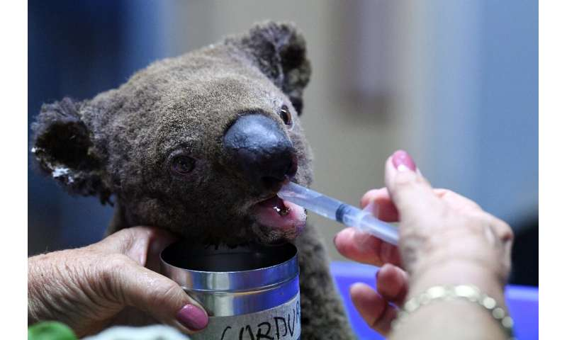 A dehydrated and injured Koala receives treatment after its rescue from a bushfire