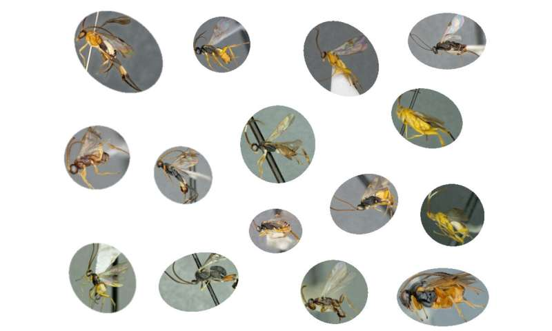 All microgastrinae wasps from around the world finally together in a 1,089-page monograph