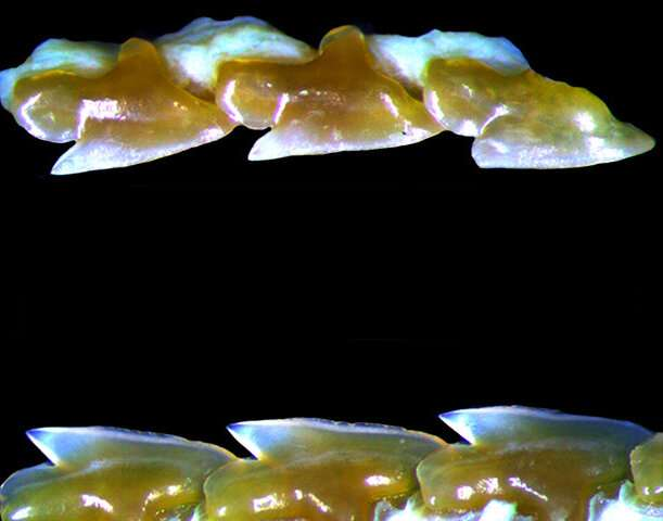A new character for Pokémon? Novel endemic dogfish shark species discovered from Japan
