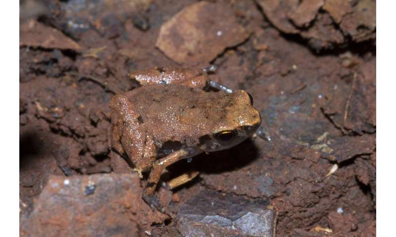 A new Critically Endangered frog named after 'the man from the floodplain full of frogs'