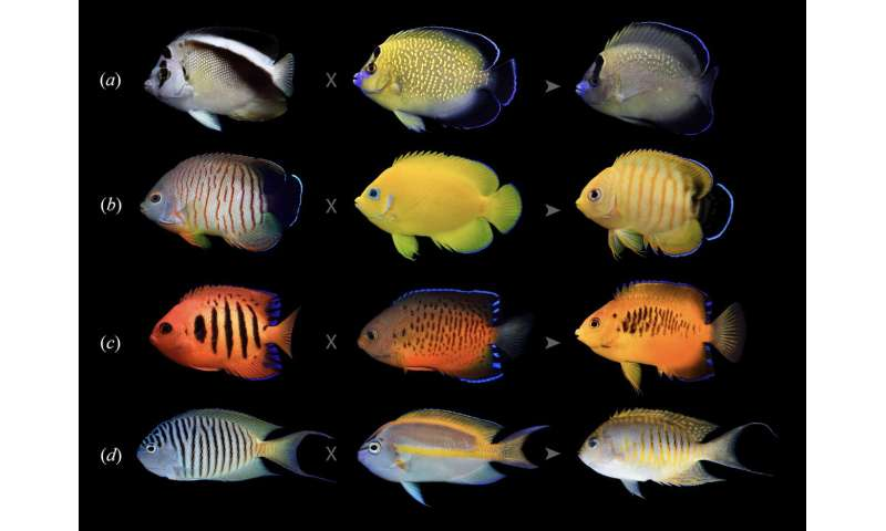 Angels in disguise: Angelfishes hybridize more than any other coral reef species