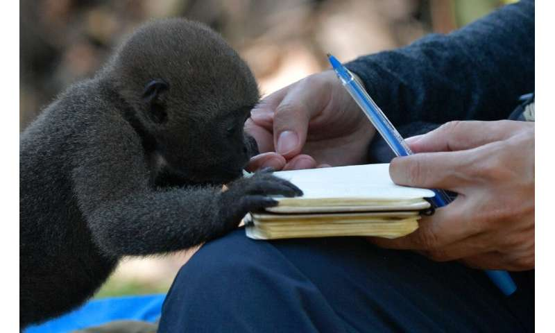 An infant woolly monkey (Lagothrix lagotricha) takes an interest in a journalist's notebook at the refuge