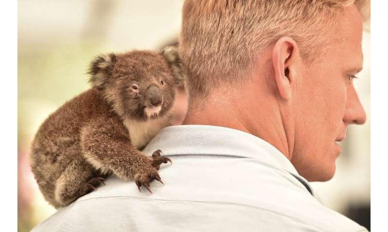 An orphaned baby koala clings to the shoulder of a vet at a makeshift field hospital at the Kangaroo Island Wildlife Park