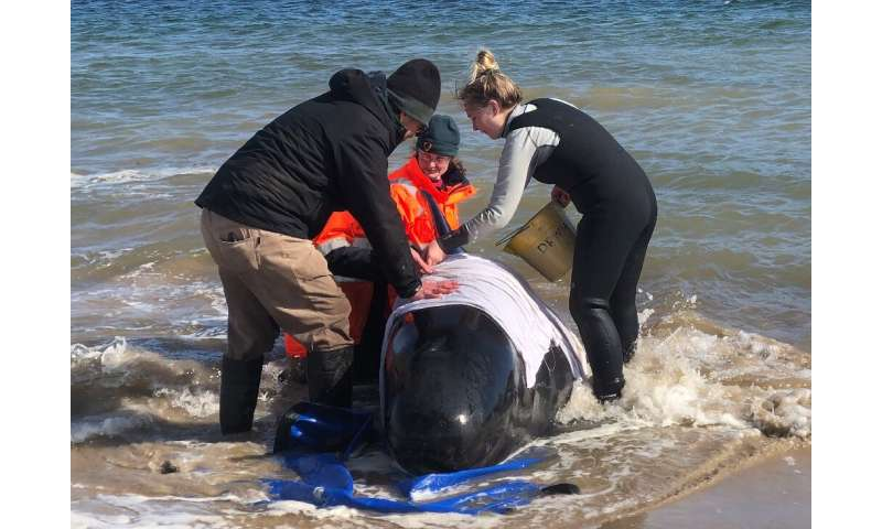 A rescue crew has concentrated efforts on a group of whales partially submerged in the water after hundreds of them were strande
