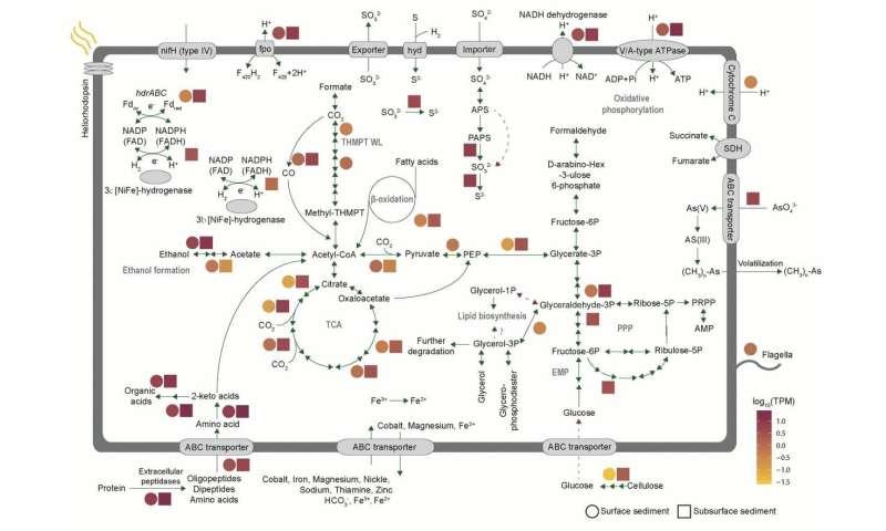 Asgard archaea including the novel phylum Gerdarchaeota participate in organic matter degradation