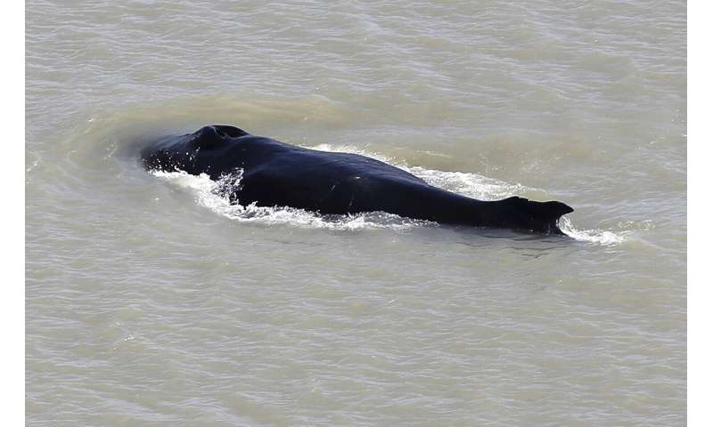 Australians hope to save whale from crocodile-infested river