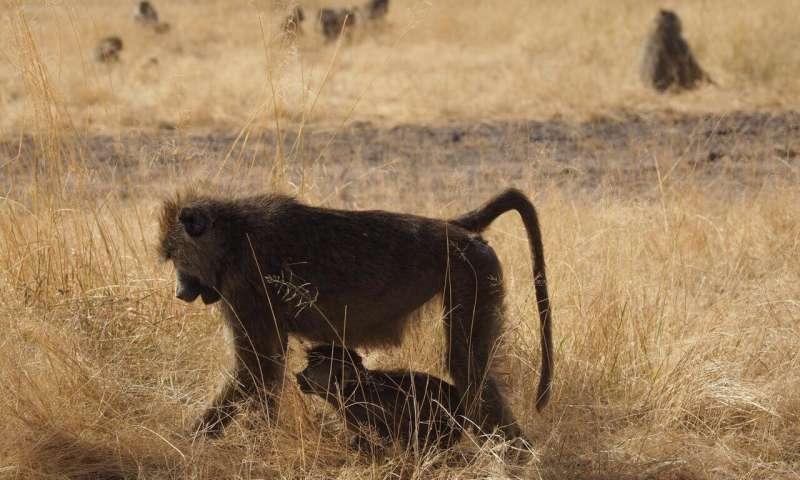 Baboon matriarchs enjoy less stress