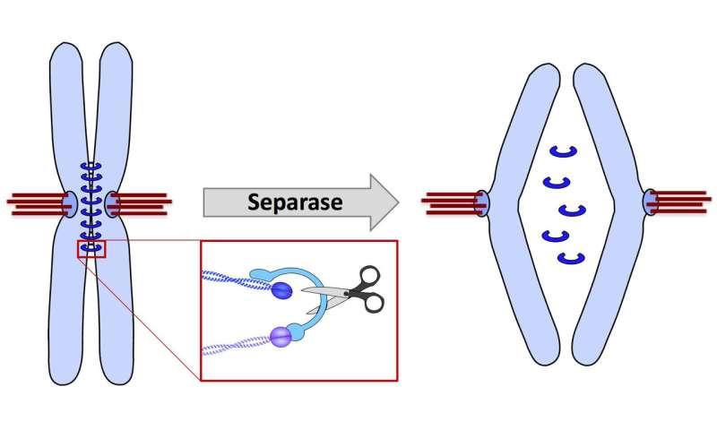 Bayreuth geneticists discover regulatory mechanism of chromosome inheritance