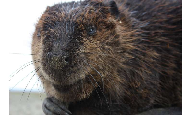 Beavers appear to help the growth of brown trout in South America, study finds