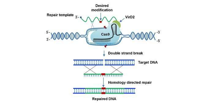 Mejores ediciones de plantas al mejorar la reparación del ADN