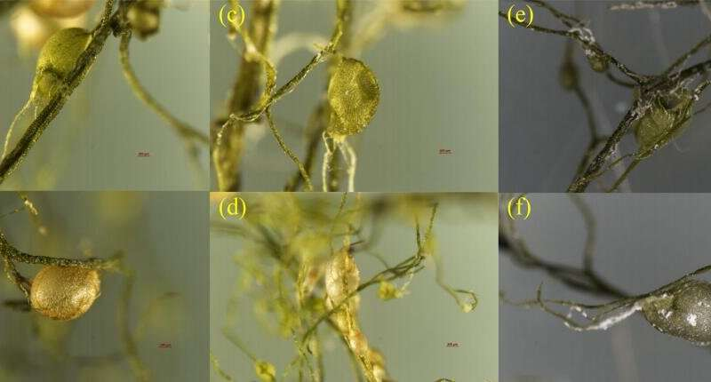 Bladder intake of microplastics induces toxicity in utricularia aurea lour