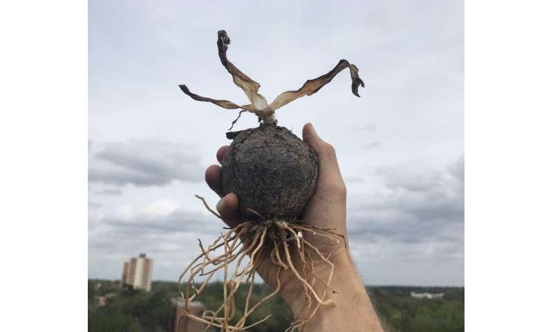 El tamaño del bulbo es importante: descubrir la evolución de los preparadores del día del juicio final del reino vegetal