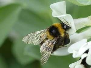 Los abejorros se benefician del cultivo de habas
