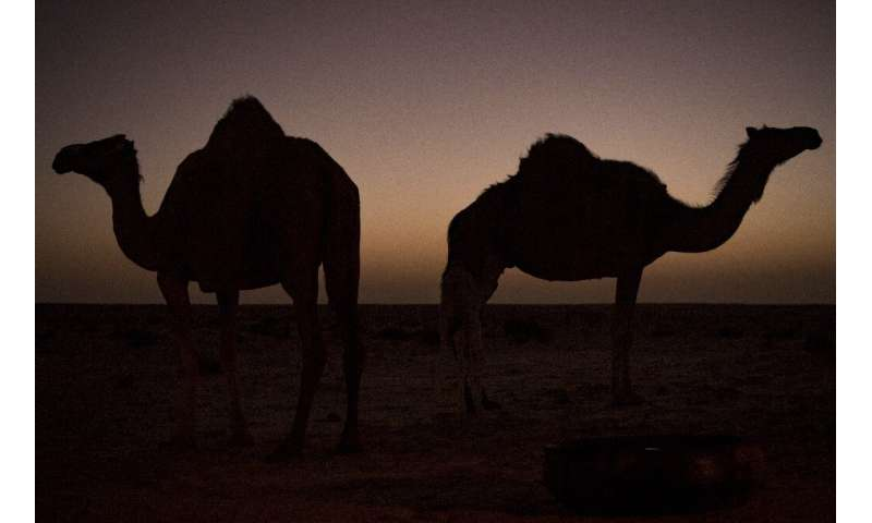 Camels were first introduced to Australia in the 1840sto aid in the exploration of the continent's vast interior, with up to 20