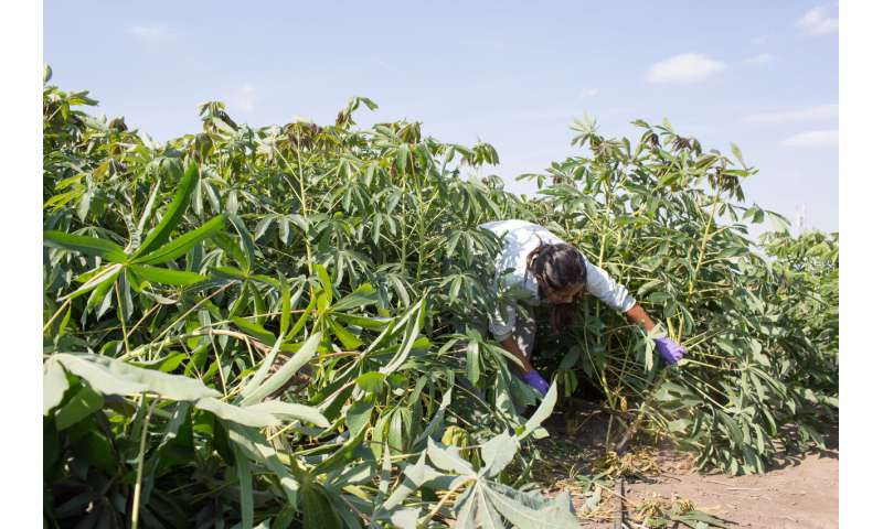 Cassava may benefit from atmospheric change more than other crops